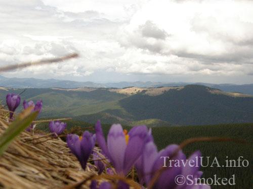 цветы в горах, Говерла, Карпаты, горы
