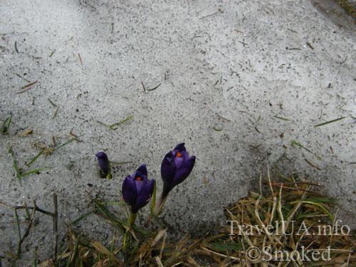 цветы в снегу, Говерла, Карпаты, горы
